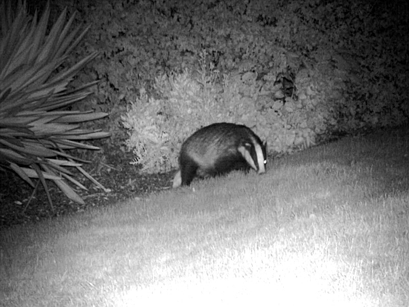 badger_1-1.jpg